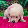 メグの仔犬 2018.01.27.生れⅡ   2月28日撮影 生後1ケ月-2