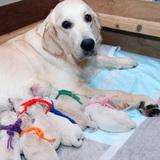 ホープの仔犬 2013.07.02.生れⅠ父犬:エミル 出産日当日
