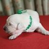 ホープの仔犬 2014.12.03.生れⅡ 12月13日撮影 生後10日-1