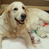 エマの仔犬 2014.12.19.生れⅠ   父犬 エミル 出産日当日