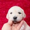 ホープの仔犬 2014.12.03.生れⅢ 12月24日撮影 3週齢-2