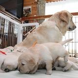ホープの仔犬 2014.12.03.生れⅢ 12月24日撮影 3週齢-1