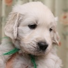ホープの仔犬 2014.12.03.生れⅣ   1月7日撮影 5週齢-2