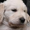 ホープの仔犬 2014.12.03.生れⅣ  1月7日撮影 5週齢-3