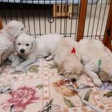 エマの仔犬 2014.12.19.生れⅡ     1月20日撮影 生後1ヶ月