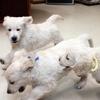 ホープの仔犬 2014.12.03.生れⅤ 1月31日撮影 お別れ会-2(最終)