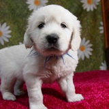エマの仔犬 2015.08.28.生れⅢ   10月1日撮影 5週齢