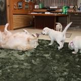 エマの仔犬 2015.08.28.生れⅤ   10月22日撮影 お別れ会 2-3