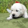 ホープの仔犬 2016.07.18.生れ Ⅱ 8月9日撮影 3週齢-1