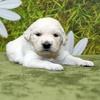 ホープの仔犬 2016.07.18.生れ Ⅱ 8月9日撮影 3週齢-2