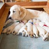 メグの仔犬 2017年3月生れⅡ   4月10日撮影 2週齢