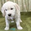 メグの仔犬 2017年3月生れⅢ-1  5月10日撮影 生後44日