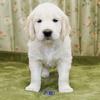 メグの仔犬 2017年3月生れⅢ-2  5月10日撮影 生後44日