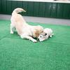 メグの仔犬 2017年3月生れⅣ-1   5月24日撮影 お別れ会①