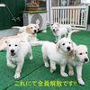メグの仔犬 2017年3月生れⅣ-2   5月24日撮影 お別れ会②