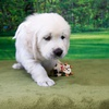 ホープの仔犬 2017.09.15.生れⅢ 10月27日撮影 6週齢-2