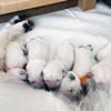 パルマの仔犬 2018.08.16.生れⅡ 9月19日撮影 生後35日-2