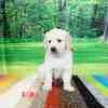ホープの仔犬 2019.06.05.生れⅢ 父犬:エミル 生後38日-1