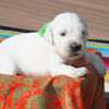 パルマの子犬 2019.12.16.生れⅢ 父犬:ピース  3週齢-1