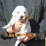 パルマの子犬 2019.12.16.生れⅢ 父犬:ピース  3週齢-2