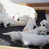 パルマの子犬 2019.12.16.生れⅢ 父犬:ピース  3週齢-3