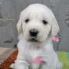 パルマの子犬 2019.12.16.生れⅣ 父犬:ピース  生後1ヶ月