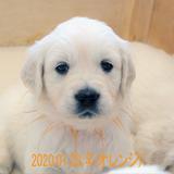 パルマの子犬 2019.12.16.生れⅤ 父犬:ピース  生後35~41日-2