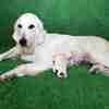 ひまわりの子犬 2020年8月14日生れⅠ 父犬:ピース 8月20日撮影
