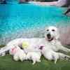 ひまわりの子犬 2020年8月14日生れⅡ 父犬:ピース 3週齢-2