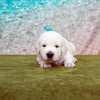 ひまわりの子犬 2020年8月14日生れⅡ 父犬:ピース 3週齢-1
