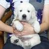 ひまわりの子犬 2020年8月14日生れⅢ 父犬:ピース 9月19日撮影