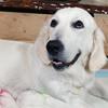 ひまわりの子犬 2021年4月10日生れⅠ 父犬:ピース 4月18日撮影