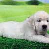 フィオナの仔犬 2021年3月22日生れⅡ 父犬:ピース 5月2日撮影