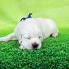 ひまわりの仔犬 2021年4月10日生れⅡ 父犬:ピース 生後22日-1