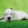 ひまわりの仔犬 2021年4月10日生れⅡ 父犬:ピース 生後22日-2