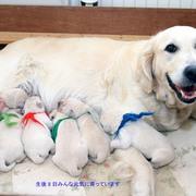 Puppiesにキャンディの仔犬 Ⅱ 生後8日をアップしました。