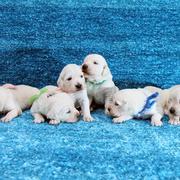 Puppiesにキャンディの仔犬 Ⅲ 生後18日をアップしました。