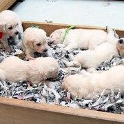 Puppiesにキャンディの仔犬Ⅳ 4週齢をアップしました。