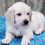 Puppiesにキャンディの仔犬Ⅴ 6週齢をアップしました。