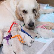 7/2(火)ホープの仔犬が生れました。詳細はPuppiesをご覧ください。