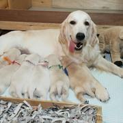 Puppiesにホープの仔犬Ⅱ 2週齢をアップしました。