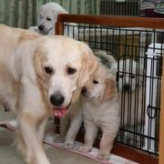Puppiesに「ホープの仔犬Ⅳ お別れ会(最終版)-1,2をアップしました。
