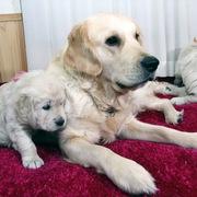 Puppiesにホープの仔犬Ⅱ 5週齢をアップしました。