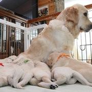 Puppiesに ホープの仔犬Ⅲ 3週齢 をアップしました。