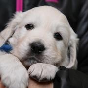 Puppiesに ホープの仔犬 Ⅳ 5週齢-1~3をアップしました