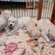 Puppiesに 「エマの仔犬Ⅱ生後1ヶ月」 をアップしました