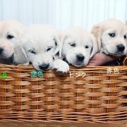Puppiesに エマの仔犬Ⅲ 生後48日-1,2をアップしました