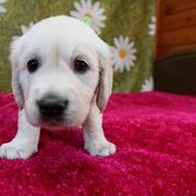 Puppies に 「エマの仔犬Ⅲ 5週齢」 をアップしました。