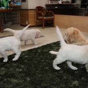 Puppies に 「エマの仔犬Ⅴ お別れ会 2-1~4」 をアップしました。