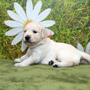Puppies にホープの仔犬Ⅱ 3週齢-1,2をアップしました。
